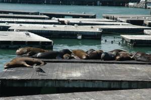 Søløverne ved Fishermans Wharf